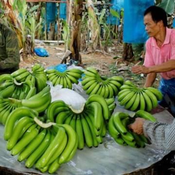Lào xuất khẩu chuối đạt gần 1 tỷ USD