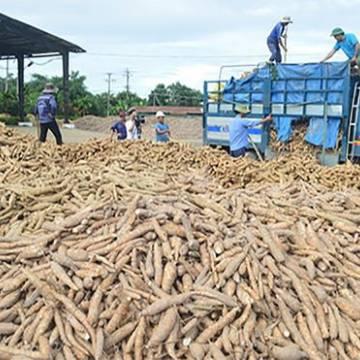 Trung Quốc tăng nhập khẩu sắn, các nhà máy chế biến thiếu nguyên liệu