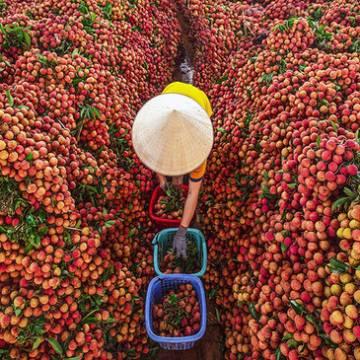 Xuất khẩu trên 3.600 tấn vải tươi qua cửa khẩu quốc tế Lào Cai