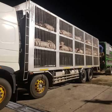 Việt Nam tạm ngừng nhập khẩu heo sống từ Thái Lan